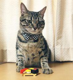 """38 mentions J'aime, 1 commentaires - yasuhiro tomida (@tommy_y3) sur Instagram: """"『寿司食いねぇ🍣』-バジル-  #ねこ  #ネコ #ピクネコ #猫 #にゃんこ #にゃんだふるらいふ #にゃんすたぐらむ #ペコねこ部 #みんねこ #みんなのねこ部 #ウェブキャットショー2…"""""""
