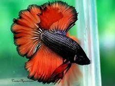 peixes ornamentais - Pesquisa Google