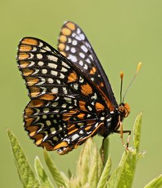 .~baltimore checkerspot butterfly by Gary Yankech~.