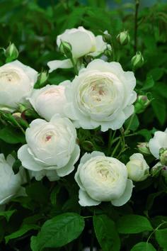 1090р 3 года. Розы россии. сорт CLAIRE AUSTIN (Клэйэр Остин). самый ароматный