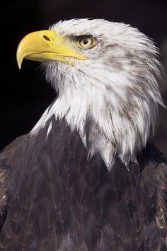 Den Weißkopfseeadler sollte jawohl jeder kennen! Er ist in Nordamerika beheimatet und stellt euch vor, ich habe so einen Vogel schon mal beim Fischen beobachtet, als wir in Kanada waren.
