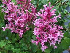 Re-blooming Dwarf Pink Lilac  Light: Sun .Zones: 3 to 7. Height: 30″ to 36″. Flowers: Pink Bloom Time: Late Spring to Fall Bloomerang® Dwarf Pink is only one of the cultivars of the re-blooming Boomerang series. Just imagine having those beautiful fragrant flowers in your garden all season long! Full Sun Plants, Blooming Plants, Blooming Flowers, Full Sun Shrubs, Bloomerang Lilac, Coral Bells Heuchera, Dwarf Plants, Dwarf Flowering Shrubs, Blue And Purple Flowers
