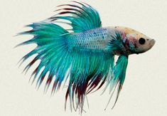 Betta Male Siamese Fighter Turquoise Neon Crown Tail