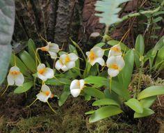"""学名 Masdevallia Angel Frost """"White"""" 交配品種 M. veitchiana x M .strobelii"""