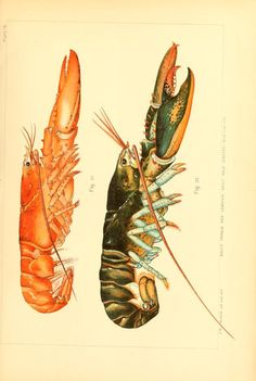 The American lobster; - Biodiversity Heritage Library. http://biodiversitylibrary.org/page/37159864. #WorldOceansDay