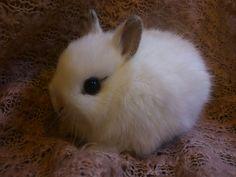 Netherland Dwarf Rabbits   Tiny little Netherland Dwarf bunnies   Grimsby, Lincolnshire ...