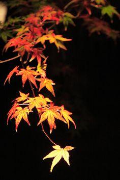 Japanese maple at Eikando, Kyoto, Japan
