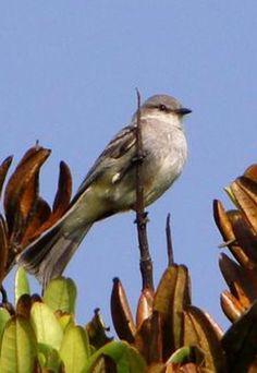 Chapada Flycatcher (Suiriri affinis) the Internet Bird Collection (IBC)   HBW Alive