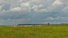 Csorda                                                             'a belső legelőről naponta (fejésre) hazajáró együtt legeltetett marhák. Hortobágyi Nemzeti Park Egyek-Pusztakócsi mocsarak. Fekete rét 'a táj mozaikos többnyire mocsaras területek közé szorult füves puszták és erdők.