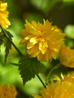 Kerria (kerria japonica 'Floraplena') We have these at our house, old bushes that have been there for a long time.