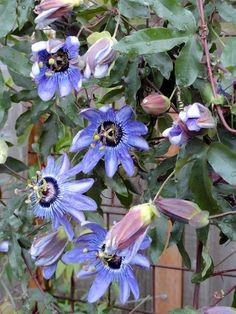 gorgeous Passion Flower vines in the garden