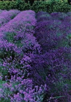 merging rows of lavender | Flickr - Photo Sharing!