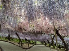 japanese wisteria tunnels. can you imagine getting married under one of these?