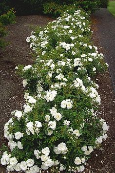 "Flower Carpet® WHITE Rose from http://www.tesselaar.com/plants/flower-carpet-roses/flower-carpet-white/: ""One of the earliest Flower Carpet roses to bloom in Spring, it has a pleasant fragrance. . .Flower Carpet® WHITE has excellent disease-resistance to common rose blights such as black spot and mildew"""