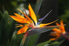 "Strelitzia is a genus of five species of perennial plants, native to South Africa/Стрелиция - ""райская птица"" Южной Африки"
