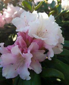Alppiruusu - Rhododendron yakushimanum `Trinity`