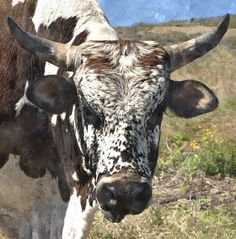 Allan & Erna Penderis art and photography prints for interior decoration Animal Paintings, Animal Drawings, Bull Painting, Cow Pictures, Cow Face, Scratch Art, Barnyard Animals, Bull Riding, Cattle