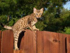 Savannah Fluffy Cat Breeds