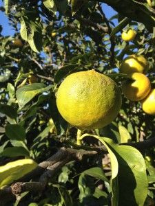 Olivenöl Spezialitäten, Zitrusfrüchte uvm. Lime, Fruit, Gourmet Foods, Italy, Tips, Limes, Key Lime