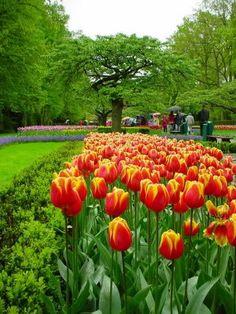 Tulips in The Keukenhof Gardens ~ Lisse, Netherlands