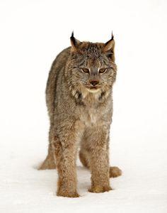 Lynx in SnowbyDenny Bingaman
