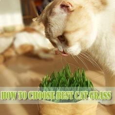 How to Choose the Best Cat Grass - Meow-Cat.com