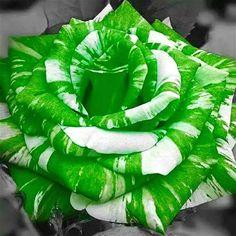 500Pcs Rare Rose Bonsai Flower Seeds With Green White Beautifu Home Garden Plant #Zijin