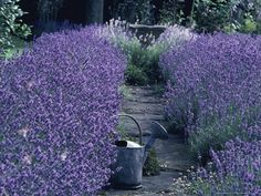 Lavender...as a border for a path. Maybe to the front door. Maybe to the garden gate.