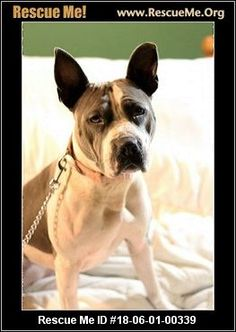 - Wisconsin American Staffordshire Terrier Rescue - ADOPTIONS - Rescue Me! Shelter Dogs, Animal Shelter, Rescue Dogs, Animal Rescue, Terrier Rescue, Terrier Dogs, Terrier Mix, Staffordshire Terriers, American Staffordshire