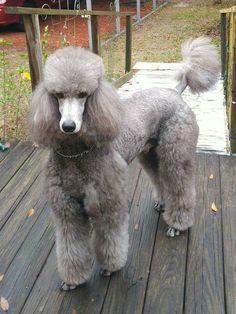 A Gorgeous Service Dog #Poodle
