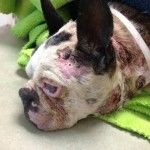 Help Us Find The Monster That Abused Henry The Boston Terrier
