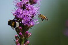 Luonto, Hyönteinen, Mehiläinen, Hummel, Kesällä, Sulje
