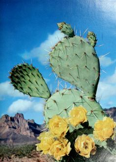 Prickly Pear Cactus in bloom Flower Bookey, Flower Film, Cactus Flower, Flower Pots, Desert Flowers, Desert Cactus, Desert Plants, Desert Rose, Cacti And Succulents