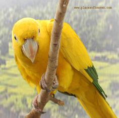 Beautiful Yellow Parrot