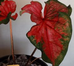 Brilliant Harlequin Strap Leaf Caladium, Very Leafy with a Bright Red Blaze (c9)