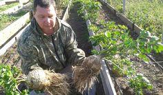 Корневой сельдерей – выращивание в урожайных грядках