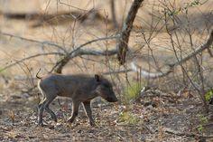 Warthog sighting -- Robin Pope Safaris -- Mkulumadzi Lodge -- Luxury Malawi Lodge