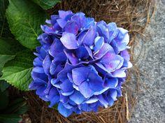 Dark Purple Hydrangea
