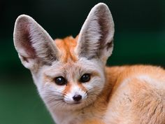 Fennec fox baby i love these little guys!