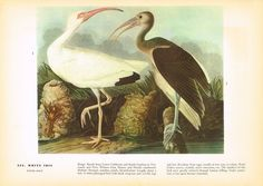 Vintage Audubon - Birds of America Book Print 1937 : White Ibis R/S - Mallard Bird Prints, Wall Art Prints, Canvas Prints, Audubon Birds, Audubon Prints, Birds Of America, Thing 1, John James Audubon, Beach Cottage Decor