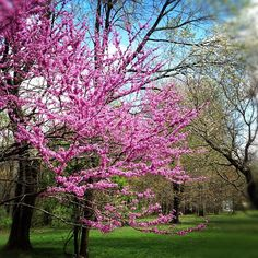 Red Bud Tree.  I would really like one of these, they're so sculptural, great color.  I love that buds even form on the trunk and branches!