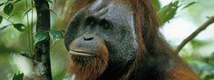 Adult male Bornean orangutan in rainforest canopy in Indonesia