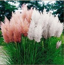 Cheap pampas grass seeds, Buy Quality cortaderia selloana directly from China grass seed Suppliers: 100 mixed colors Pampas Grass Seeds Cortaderia selloana makes a notable focal point in a garden fast growing Ornamental Grass Beautiful Gardens, Beautiful Flowers, Tall Ornamental Grasses, Tall Grasses, Grass Seed, Lawn And Garden, Garden Grass, Fruit Garden, Trees To Plant