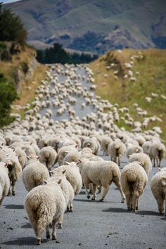 Schaf Sheep Mouton Pecora * Traffic jam by Mathieu Savaria Farm Animals, Animals And Pets, Cute Animals, Beautiful Creatures, Animals Beautiful, Sheep And Lamb, Tier Fotos, Wild Life, Farm Life