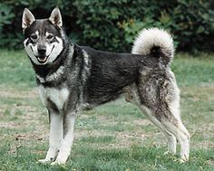 The Jämthund or Swedish Elkhound is a Swedish hunting dog of spitz type, bred to hunt moose and sometimes bear. The Jämthund is the national dog of Sweden. Some experts believe the Jämthund originated by selective breeding from ancient aboriginal dogs very similar to the West Siberian Laika. Genetic studies show that the Jämthund is also very similar to the Norwegian Elkhound, although larger.