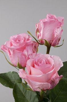 Rose Blushing Akito - medium pink