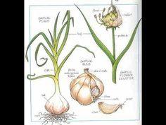 Cómo hacer crecer una planta de ajo en tu cocina