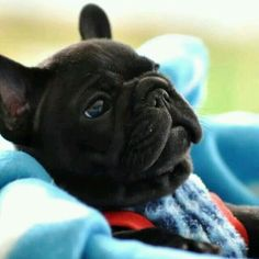 French Bulldog #BullyDogNation