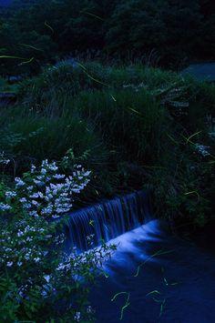 Japanese firefly at Hiekawa, Izu, Shizuoka, Japan Beauty Around The World, Around The Worlds, Japan Japan, Shizuoka, Win A Trip, Show, Far Away, Japan Travel, Nice View