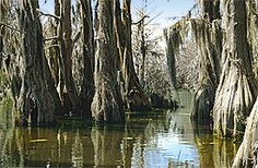 Spanish moss and cypress trees at Merchants Millpond State Park.  Great place to canoe.  Lots of wildlife including gators.
